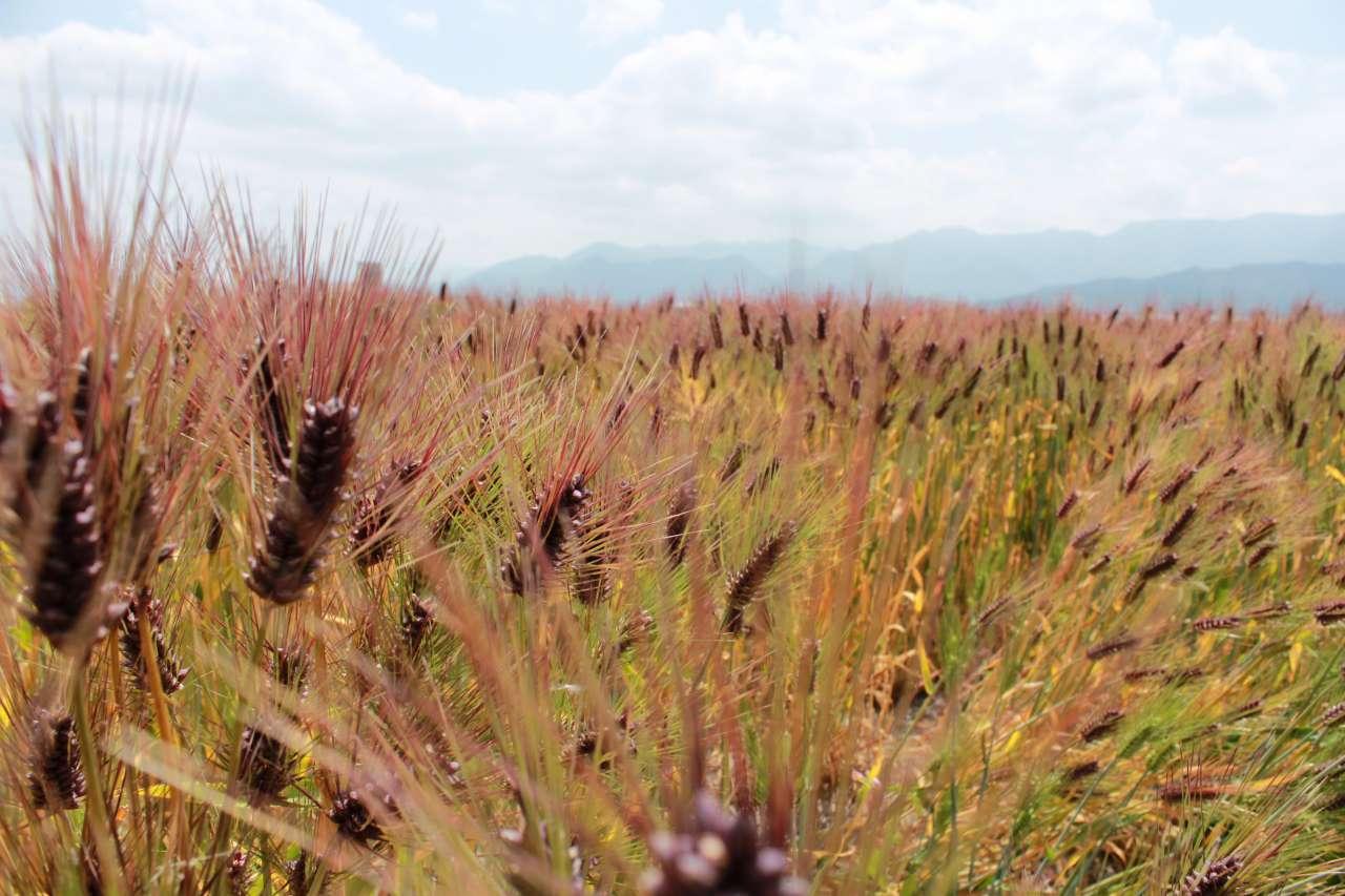 一年に一度の大切な行事。愛媛にある「もち麦」産地の収穫祈願祭。